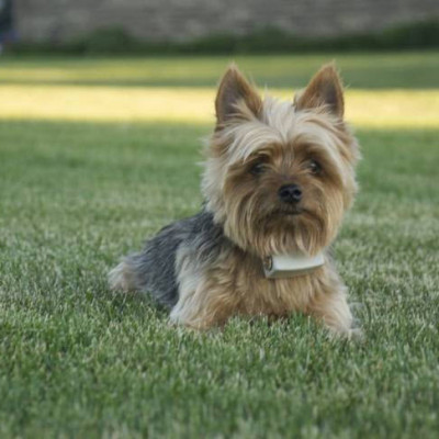 Dog Guard Yorkie