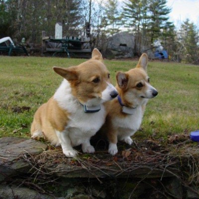 Corgis on watch