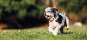 Dog with electric collar running